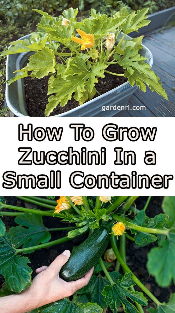 How To Grow Zucchini In a Small Container