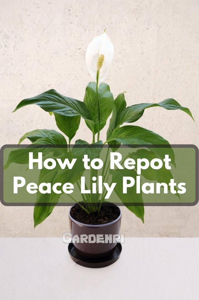 How to Repot Peace Lily Plants
