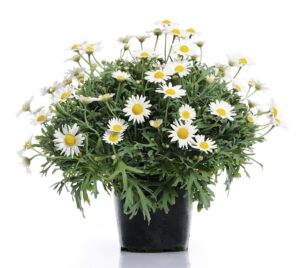 Gabriel daisies, Best Smelling Plants for Bedroom