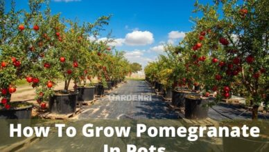 Grow Pomegranate In containers