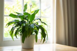 Peace lily, Best Smelling Plants for Bedroom