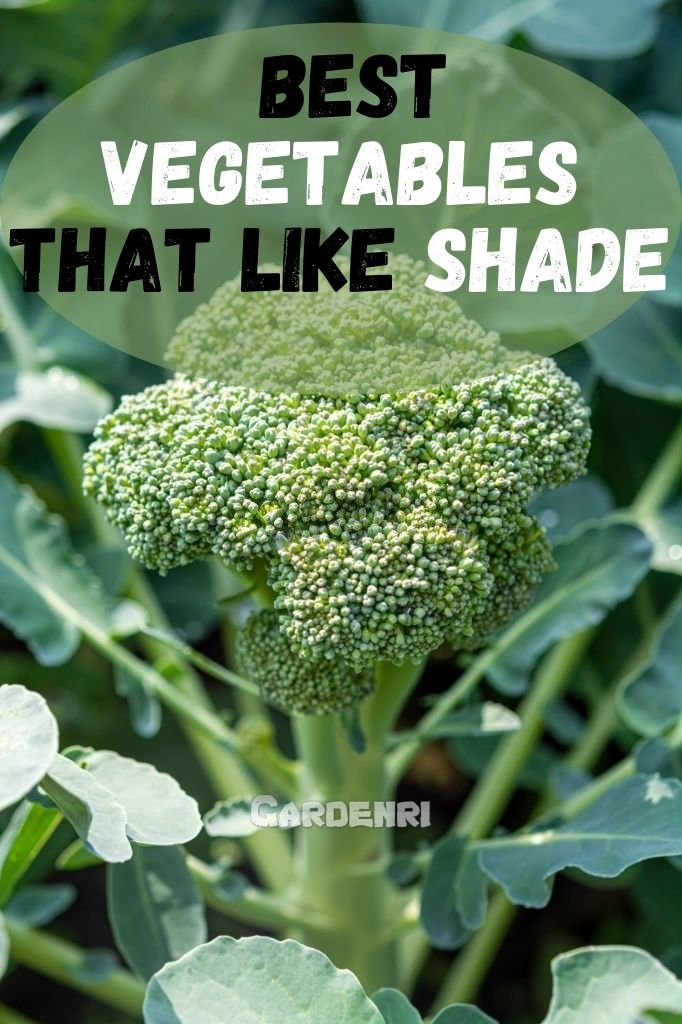 Vegetables That Like Shade