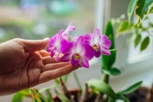 DENDROBIUM ORCHID, INDOOR HOUSE PLANTS