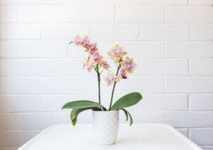MOTH ORCHIDS, INDOOR HOUSE PLANTS