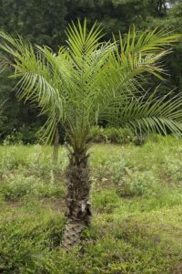 PYGMY DATE PALM, INDOOR HOUSE PLANTS