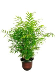 BAMBOO PALM, INDOOR HOUSE PLANTS