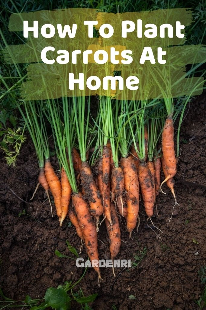 How To Plant Carrots At Home