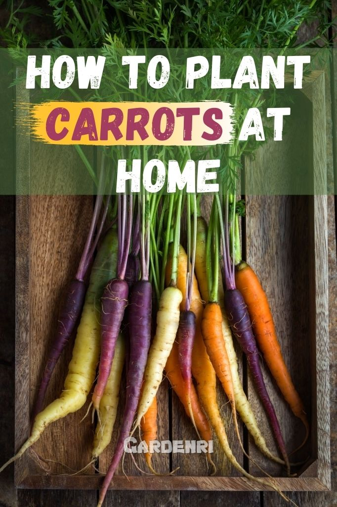 How To Plant Carrots At Home, Easy Tips