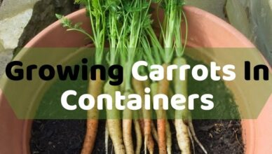 Growing Carrots In Containers