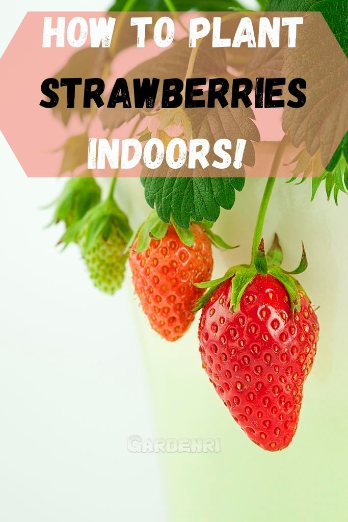 How To Plant Strawberries Indoors