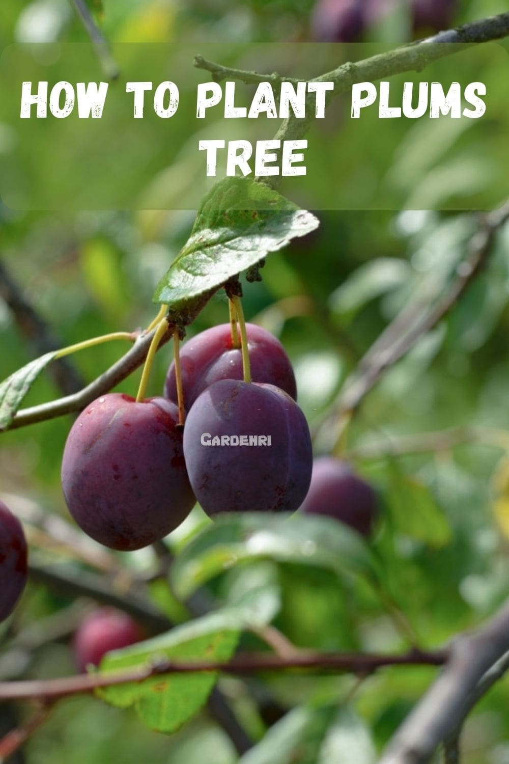How to Plant Plums Tree