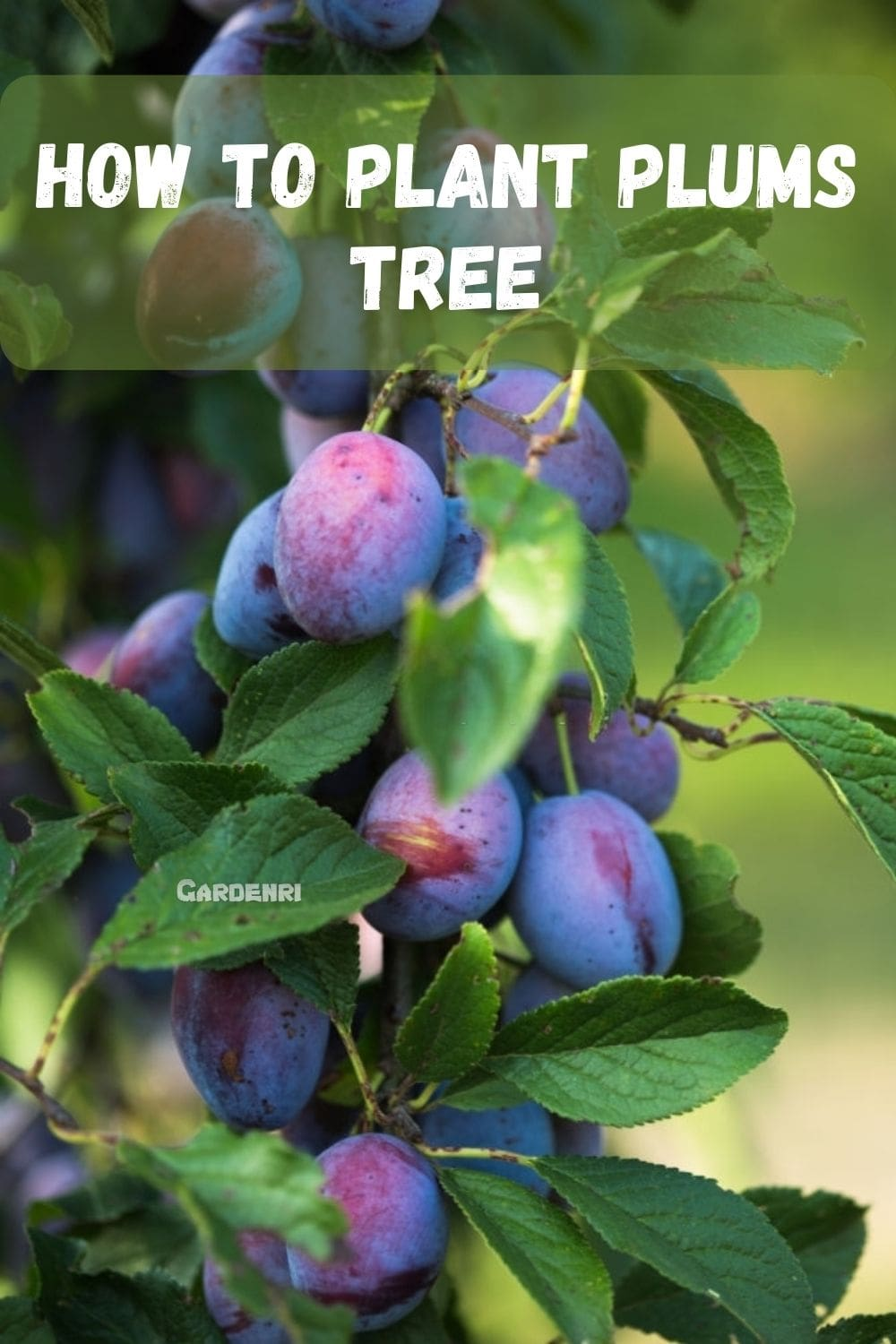 How to Plant Plums Tree Full Guide