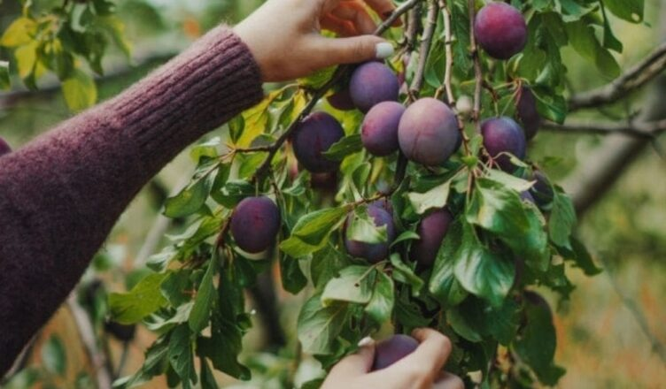 How to Plant Plums Tree Full Guide 2021