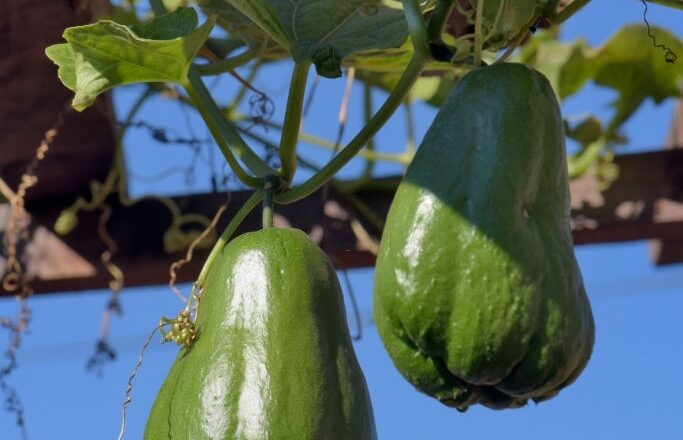 How to plant chayote At Home