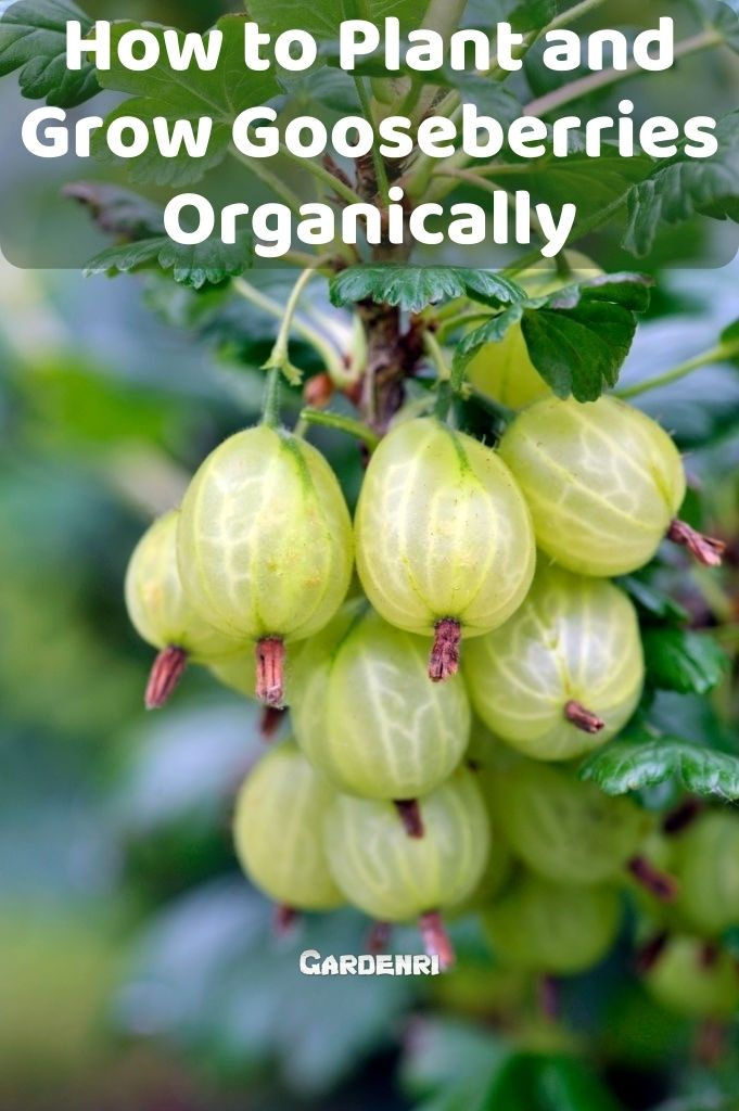 How to Plant and Grow Gooseberries Organically