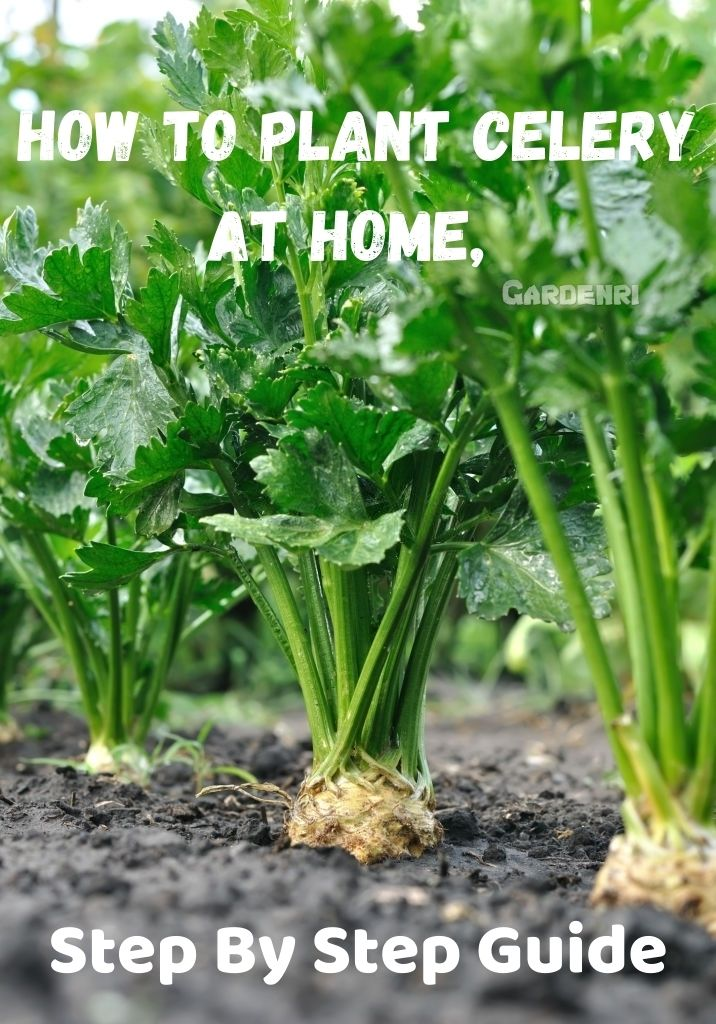 How To Plant Celery At Home