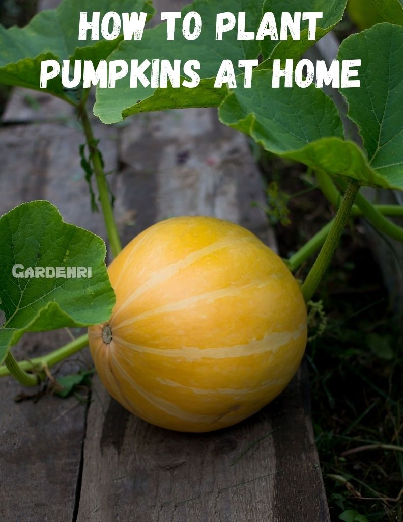 How To Plant Pumpkins At Home