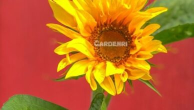 How To Plant Sunflowers At Home