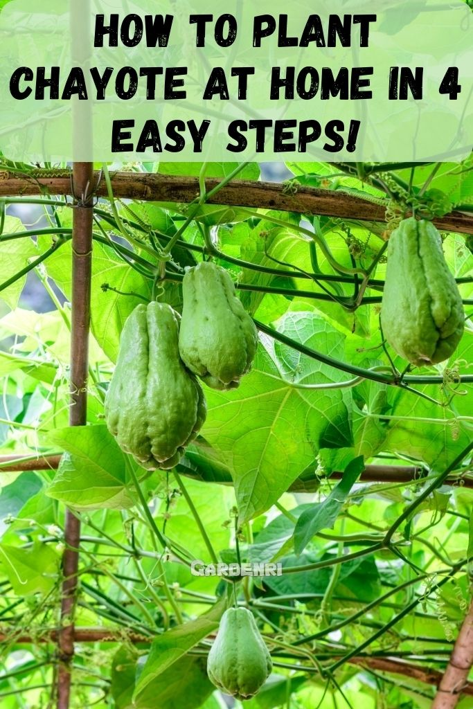 In 4 Steps, How to plant chayote At Home